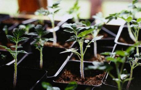 cách trồng cà chua đen