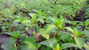 Vườn trồng cây bạc hà