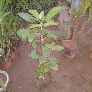 Cây Sống đời – Hoa đẹp Tốt Cho Phong Thủy – Tìm Hiểu Ngay