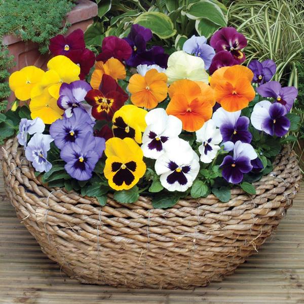 hạt giống hoa păng xê