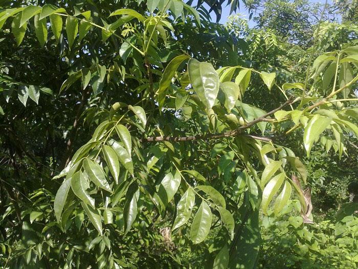 liên hệ mua cây móc mật