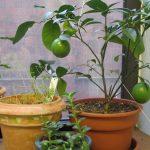 Bí quyết trồng chanh trong chậu ra trái quanh năm