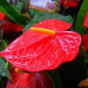 Cây Hồng Môn Chậu Cảnh đẹp Cho Khách Gần Xa – 0966.446.329