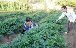Ruộng trồng dược liệu
