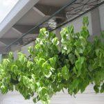 Trồng cây lá cẩm cần lưu ý điều gì