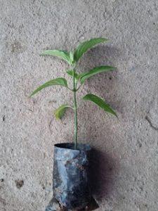 Chọn cây sinh trưởng tốt