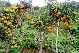 Vườn trồng cam