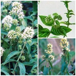 Cách trồng cây dạ cẩm