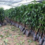 Cách trồng cây xoài tím trong chậu cảnh