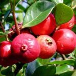 Hướng dẫn chi tiết cách trồng cây ổi tím trong chậu