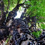 Quy trình trồng và chăm sóc cây nho thân gỗ