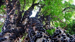 Cây nho gỗ chi chít quả
