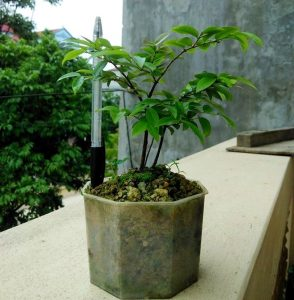 Nho thân gỗ trồng chậu