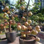 Hướng dẫn trồng và chăm sóc cây táo tây