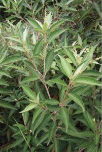 Khổ sâm là cây thuốc nam đa công dụng, cây đặc biệt có tác dụng tốt đối với các chứng bệnh liên quan đến hệ tiêu hóa và dạ dày.