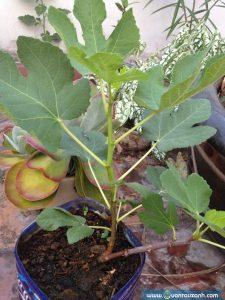 Cây sung mỹ rất rễ trồng và chăm sóc