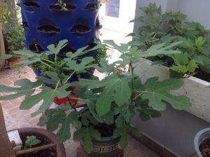 Cây sung mỹ có thể trồng chậu