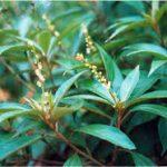 Bán cây giống khổ sâm trị bệnh đường tiêu hóa giá tốt tại hà nội