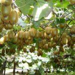 Địa chỉ cung cấp cây giống kiwi tại hải phòng