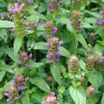 Hạ khô thảo, đan sâm……Những cây thuốc quý hỗ trợ điều trị ung thư gan