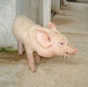 Bệnh phổi ở lợn
