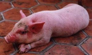 Bệnh phù nề ở lợn