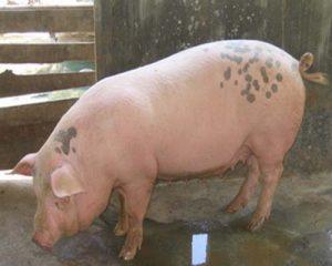 Bệnh tiêu chảy ở lợn