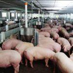 Top 6 bệnh thường gặp trên lợn và cách sử dụng cây thuốc nam phòng chữa bệnh