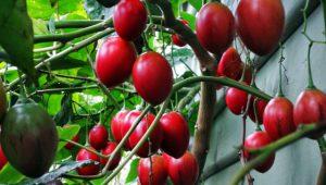 Cây cà chua thân gỗ
