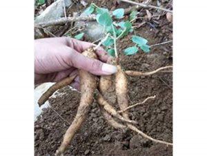 Hướng dẫn trồng và chăm sóc cây đẳng sâm