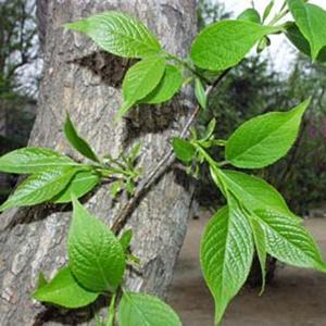 Kỹ thuật trồng cây đỗ trọng