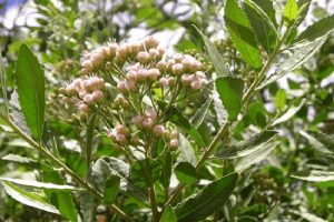 Quy trình đặt hàng cây cúc tần tại vườn ươm