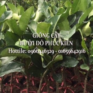Bưởi đỏ Phúc Kiến Cây Giống Chuẩn Giá Rẻ Tại Hà Nội – 0966.446.329