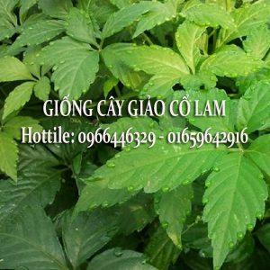 Cây Giảo Cổ Lam