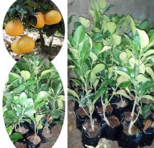 Kỹ thuật trồng cây bưởi lùn tứ xuyên