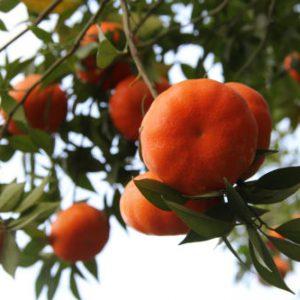 Cây Cam Canh – Cây Giống ăn Quả – Cây Cảnh Hải Đăng