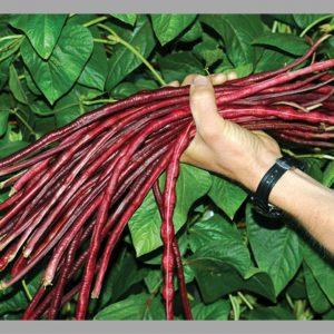 Đậu đũa đỏ – Giống Mới Cho Năng Suất Mới – Shop Cây Giống Hải Đăng