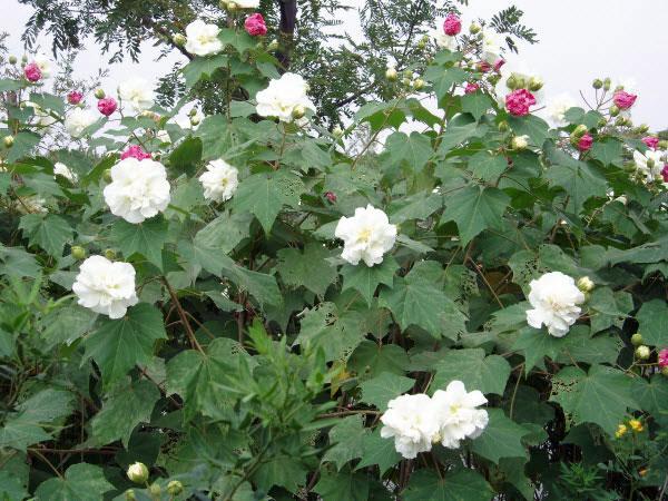 cách trồng cây hoa phù dung