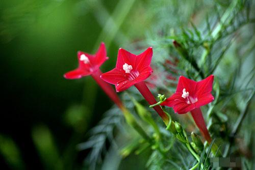 hình ảnh cây hoa sao