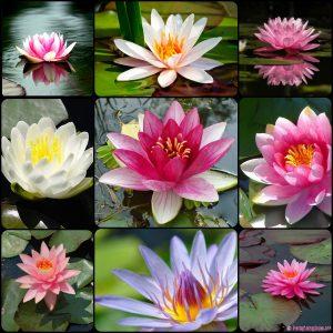 Hoa Súng Thái Lan – Shop Hoa Cây Cảnh Hải Đăng – 0966.446.329