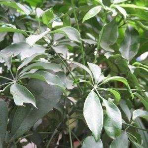 810px Schefflera Octophylla (1)