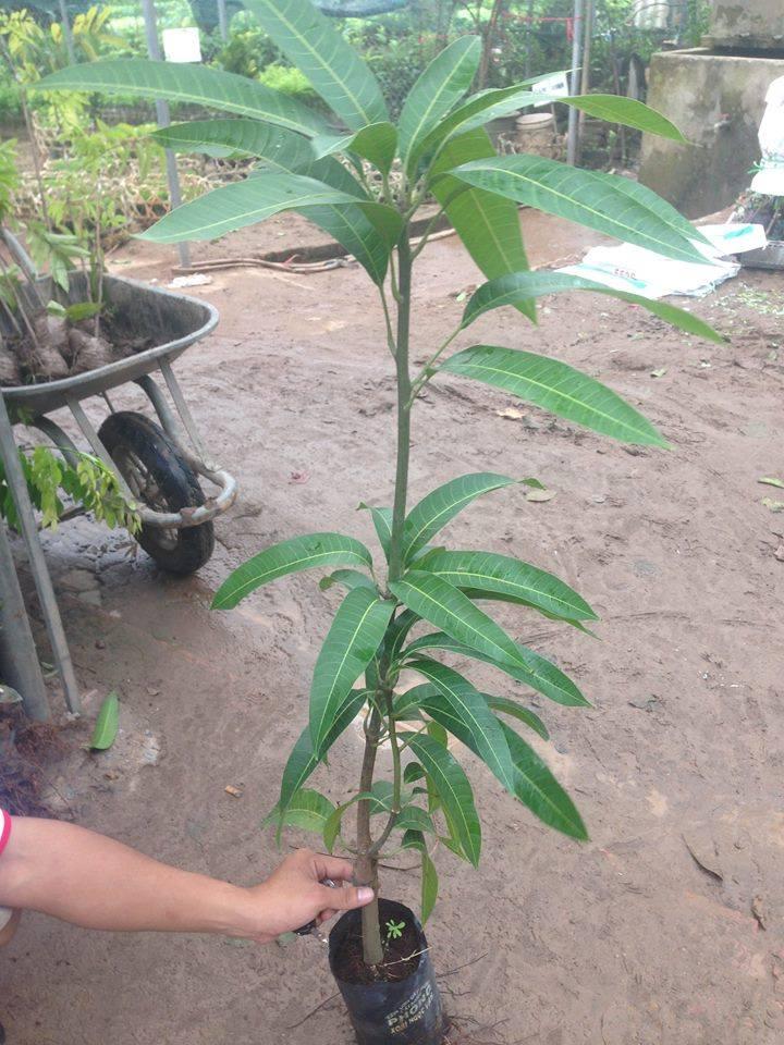 cây giống xoài tím tiêu chuẩn