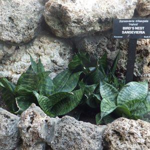 Giống Lùn Dracaena Trifasciata 'hahnii'