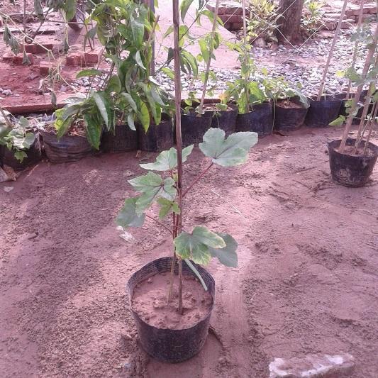 cây giống đậu bắp tím