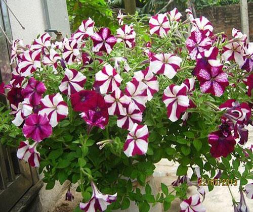 ý nghĩa của hoa dạ yên thảo
