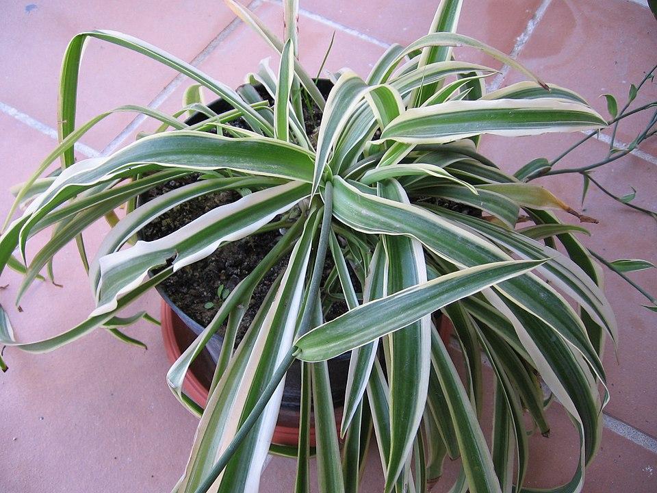Hình ảnh Cho C. Comosum 'variegatum'