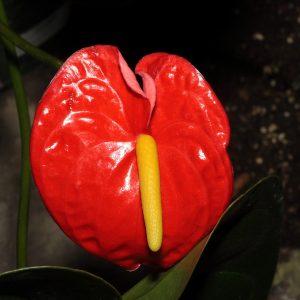 Hoa Của Anthurium Andraeanum