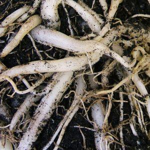 Rễ Của Cây Chlorophytum Comosum