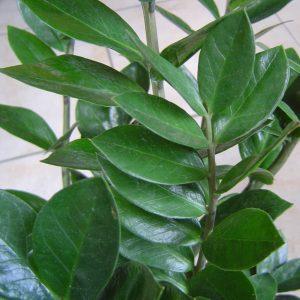 Zamioculcas Zamiifolia Thích Hợp để Lọc Không Khí