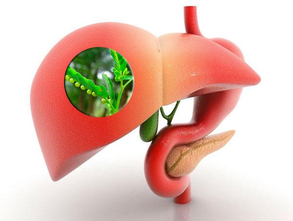 diệp hạ châu chữa viêm gan và siêu vi gan B